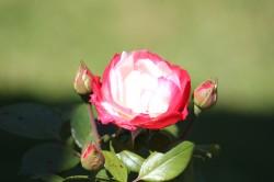 Rosenblueten